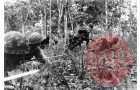 Japanese troops advancing through a plantation